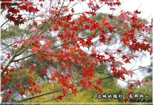 [苗栗 景點] 近城的楓紅。馬那邦山