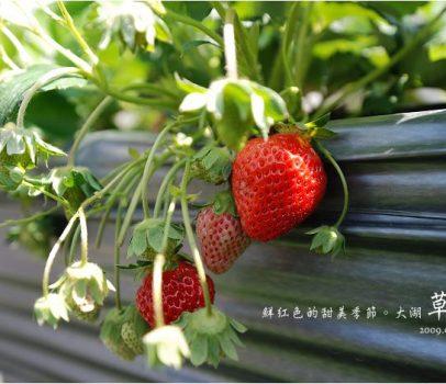 【苗栗大湖 景點】山頂果園農場   粉紅色的季節到大湖採草莓、神農獎獲獎果園