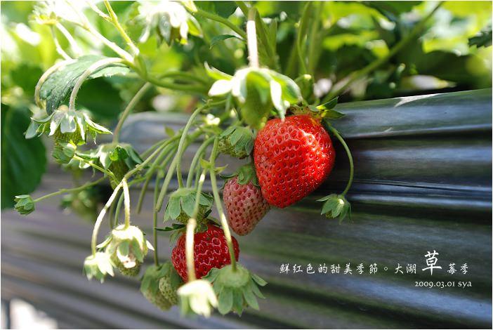 山頂果園農場   粉紅色的季節到大湖採草莓、神農獎獲獎果園
