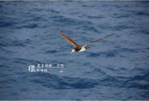 [麗星郵輪。天秤星號] 回程。獵殺海鷗