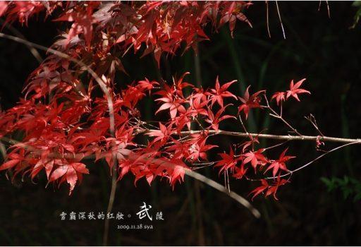 [台中 景點] 武陵農場。雪霸國家公園 (01 秋楓、落羽松)