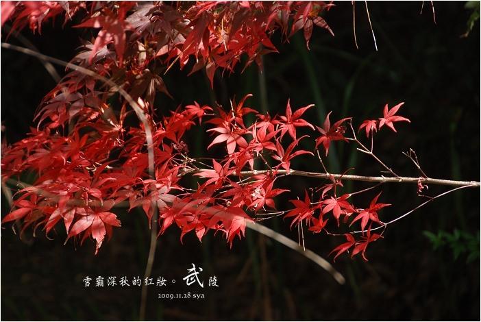 武陵農場。雪霸國家公園 | 秋楓、落羽松