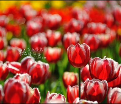 【桃園 景點】桃源仙谷 | 百花齊放之鬱金香海