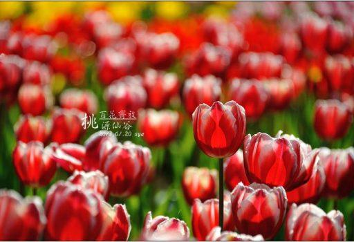 [桃園 景點 鬱金香] 百花齊放。桃源仙谷
