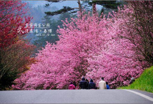 [台中 賞櫻 景點] 武陵農場。雪霸國家公園 (03 春-櫻花、冬-梅花)