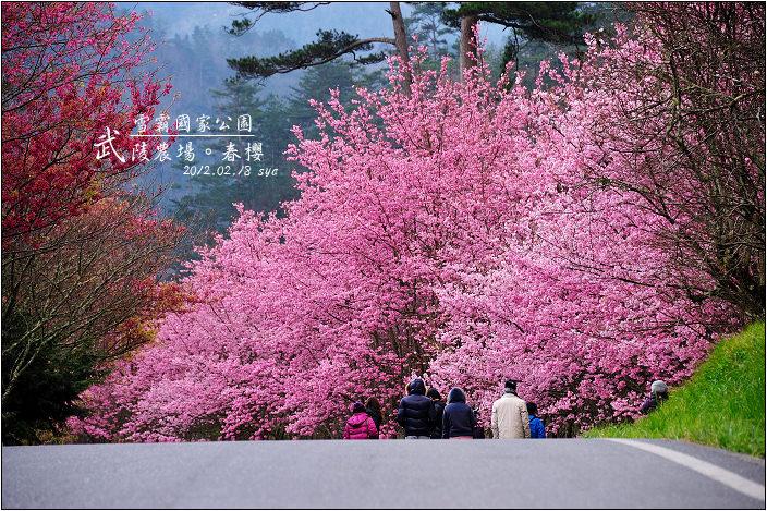 武陵農場。雪霸國家公園 (春-櫻花、冬-梅花)