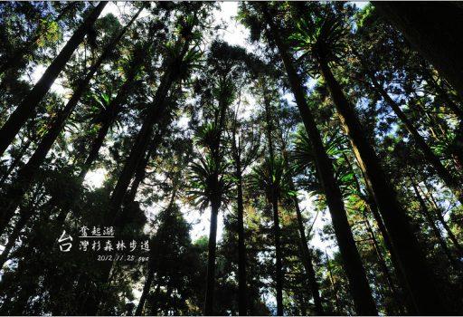 [嘉義 景點 奮起湖] 台灣杉森林棧道