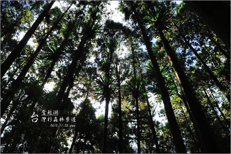 台灣杉森林棧道