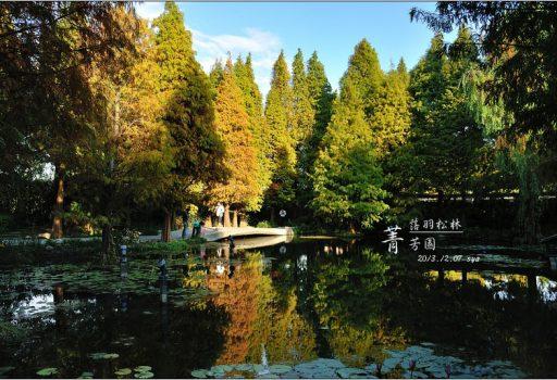 [彰化 景觀餐廳] 歐洲般的景致。菁芳園落羽松林