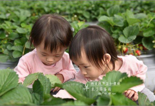 [南投 國姓] 歡樂的親子時光。羊來了草莓園