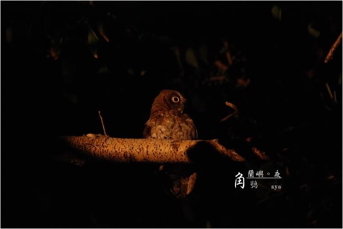 蘭嶼。夜 ( 角鴞 、 光澤蝸牛 、棋盤腳 )