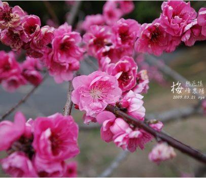 【南投 景點】梅峰農場 | 桃花緣